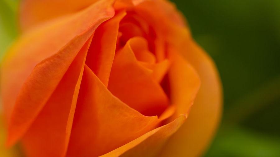 Close-up of orange rose