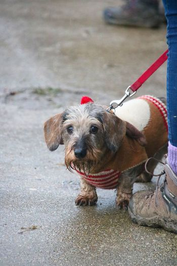 Dog Walking Animal Themes Close-up Cute Day Dog Dog Coat Dog Lead Domestic Animals Focus On Foreground Lead Mammal No People One Animal Outdoors Pets Portrait Red Walking Boot