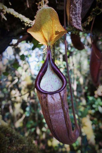 Malaysia Jungle Carnivorousplant Nature Close-up