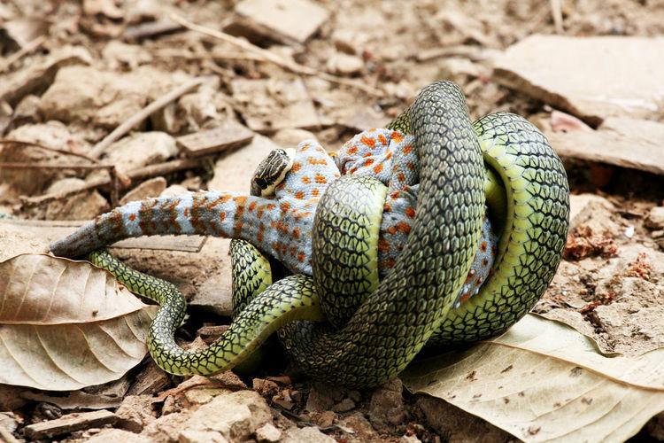 High angle view of snake hunting animal on land