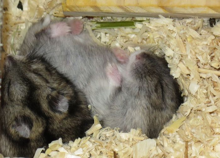 Hamsters Sleeping Animals Animals Lover Pets And Animals