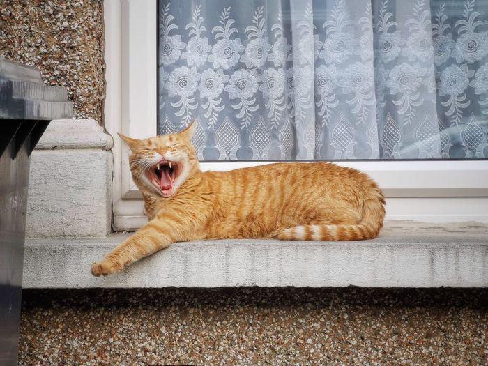 Portrait of cat yawning