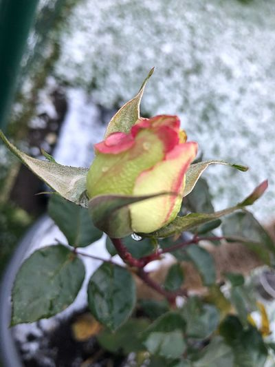 Rosen am 20.Jänner Leaf Nature Growth Flower Day Plant Beauty In Nature Close-up Green Color Rose - Flower Outdoors No People Fragility Petal Freshness Flower Head Shades Of Winter
