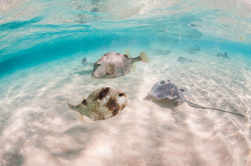 Grand Cayman Cayman Islands Tourism Caribbean underwater photography Stingray City Stingray Sea Water Animals In The Wild Animal Wildlife Animal Themes Animal Sea Life Underwater Marine Nature No People Swimming UnderSea Beauty In Nature One Animal High Angle View Reptile Day Outdoors Turquoise Colored