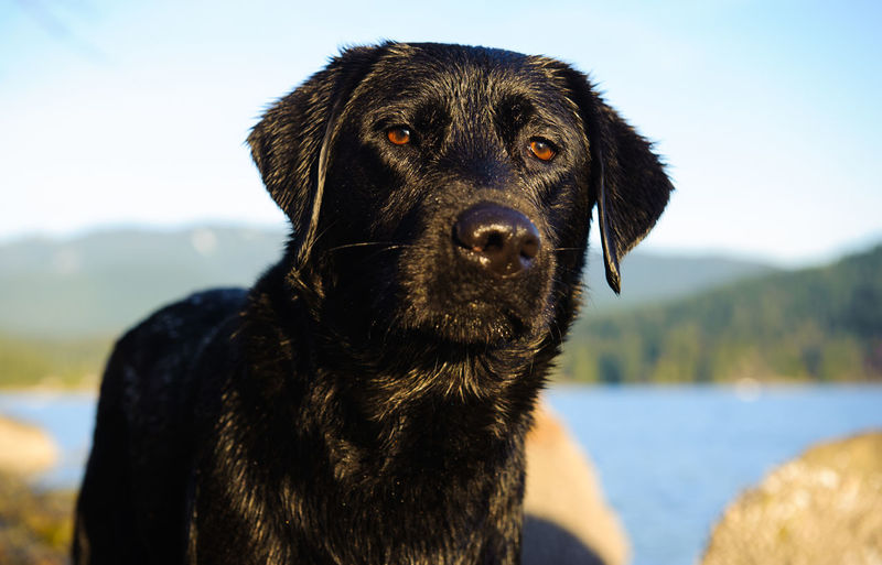 Close-up of black labrador on sunny day