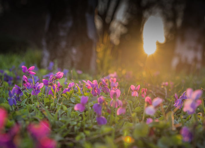 Beauty Beauty In Nature Bokeh Close-up Day Defocused Flower Flower Head Fragility Freshness Grass Landscape Nature No People Outdoors Plant Purple Summer Sunbeam Sunlight Sunset Warm Warm Colors Wildflower