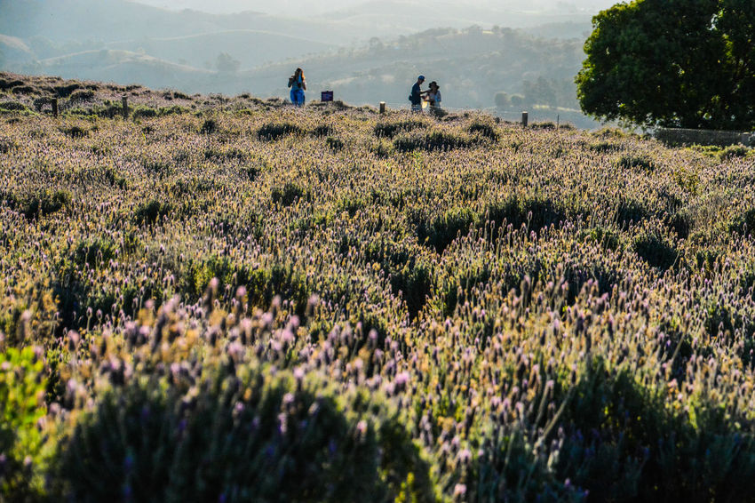 ezefer Adult Beauty In Nature Cunha Field Flower Friendship Grass Growth Horizontal Landscape Lavanda Lavanda Field Lavandario Men Mountain Mountain View Mountains Nature Outdoors People Plant Real People Scenics Sky Tranquil Scene