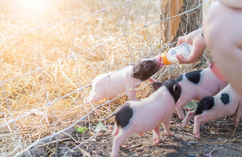 Cropped hand feeding piglet
