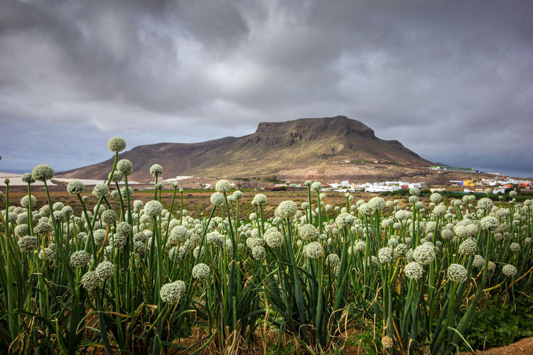 Agriculture Canarias Canary Islands Gran Canaria Islas Canarias Work Agricultural Field Cloud - Sky Field Flower Flowering Plant Growth Land Landscape Mountain Nature Onion Plant