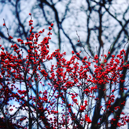 Low angle view of red berries on tree