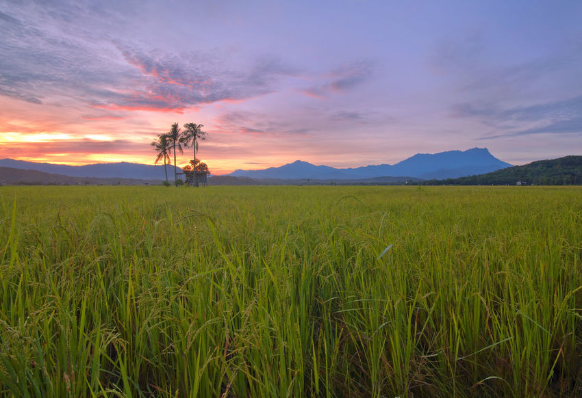 paddy field with mount kinabalu Kota Belud Sabah Borneo EyeEm Selects Photography Best EyeEm Shot Malaysia Truly Asia Outdoor Photography Check It Out New Concept Tree Low Section Branch Rural Scene Sunset Mountain Tree Area Blue Agriculture Flower Single Tree In Bloom Dramatic Sky Blooming Flower Head Petal Panoramic Romantic Sky Blossom