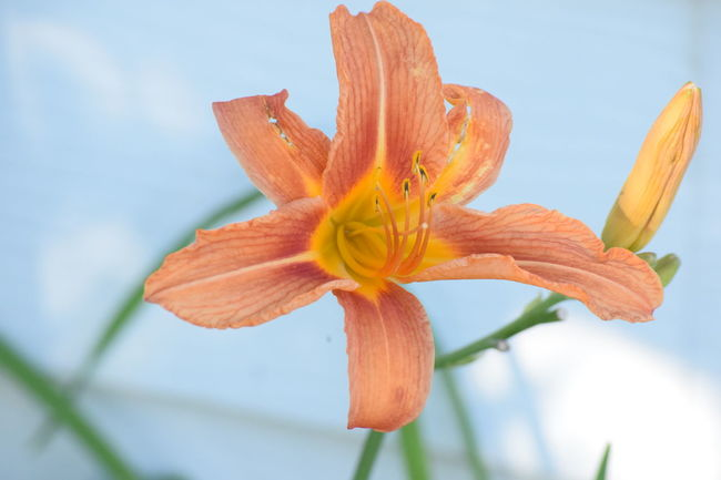 Beauty In Nature Blooming Close-up Day Day Lily Flower Flower Head Fragility Freshness Growth Lily Nature No People Outdoors Petal Plant