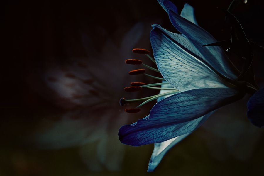 Blue Lilies EyeEmNewHere Light Through Leaves The Week On EyeEm Beauty In Nature Blue Flowers Close-up Flower Flower Head Fragility Freshness Growth Iris - Plant Light And Shadow Lilies Nature Night No People Outdoors Petal Plant Reflection In The Window Light And Shadows