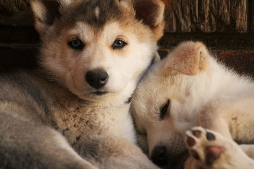 Husky puppies Animal Head  Animal Themes Blue Eyes Close-up Cute Dog Domestic Animals Focus On Foreground Husky Love Husky Puppy Husky ♡ Lying Down Mammal Pets Portrait Puppy Relaxation Resting Young Animal