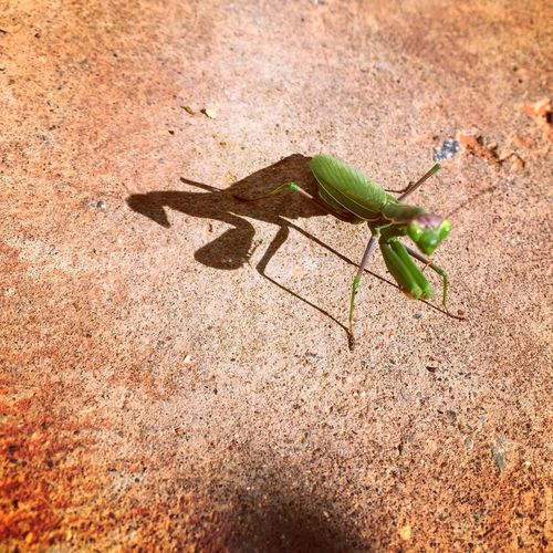 Man, I will never get over how RAD a Praying Mantis is.