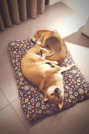 難得哥兩好 Goodnight Cuties Bello N Diamond Dogstagram