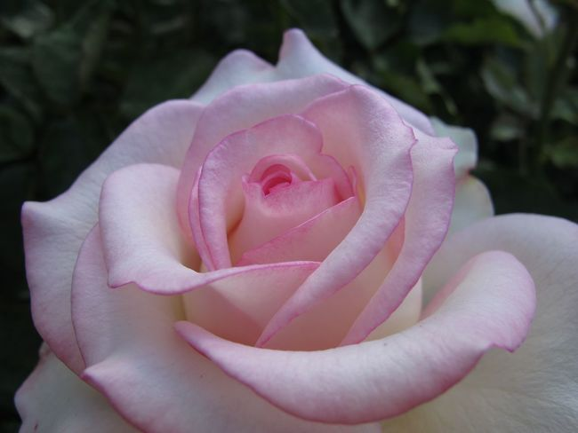 Beauty In Nature Blooming Close-up Flower Flower Head Focus On Foreground Fragility Freshness Growth In Bloom Nature Outdoors Petal Pink Pink Color Plant R.tullis Rosé Rose - Flower Single Flower Single Rose
