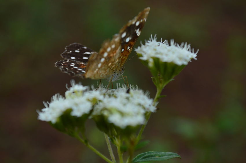 Animal Themes Animal Wildlife Animals In The Wild Beauty In Nature Butterfly - Insect Close-up Day Flower Focus On Foreground Fragility Insect Nature No People One Animal Outdoors Perching Plant Pollination