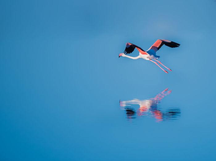 Flamingo Flying Over Blue Lake