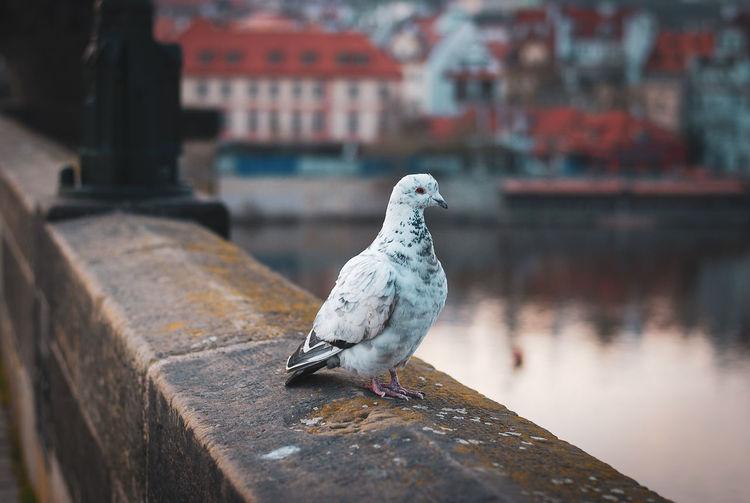 Pigeons in pllrague