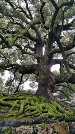 giant tree Growth Tree Green Color Day No People Outdoors