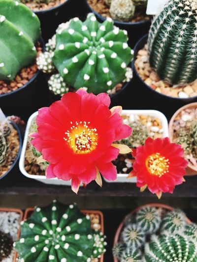 Cactus Flowers Plant Succulent Plant Cactus Growth Beauty In Nature Flower No People Freshness Flowering Plant Inflorescence Flower Head Potted Plant Close-up Nature High Angle View Focus On Foreground Fragility Vulnerability  Botany Day