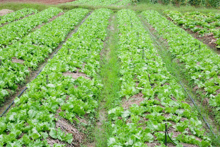 Green vegetable organic farm Agriculture Beauty In Nature Day Farm Field Food Food And Drink Freshness Gardening Green Color Growth Healthy Eating In A Row Land Landscape Nature No People Organic Outdoors Plant Rural Scene Vegetable