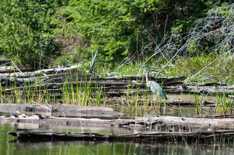 Blue,heron,marsh