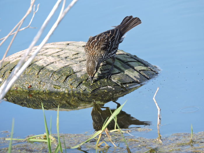 WetlandsWildLife Animal Animal Themes Animal Wildlife Animals In The Wild Beauty In Nature Bird Day Drinking Female Redwinged Blackbird Flying Focus On Foreground Lake Nature No People One Animal Outdoors Plant Sky Stick - Plant Part Sunlight Vertebrate Water