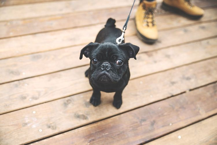Dog Dogeyes Dogslife DogLove Frenchbulldog Dogs Of EyeEm Dogs Black Dog Little Dog Puppy Puppy Love
