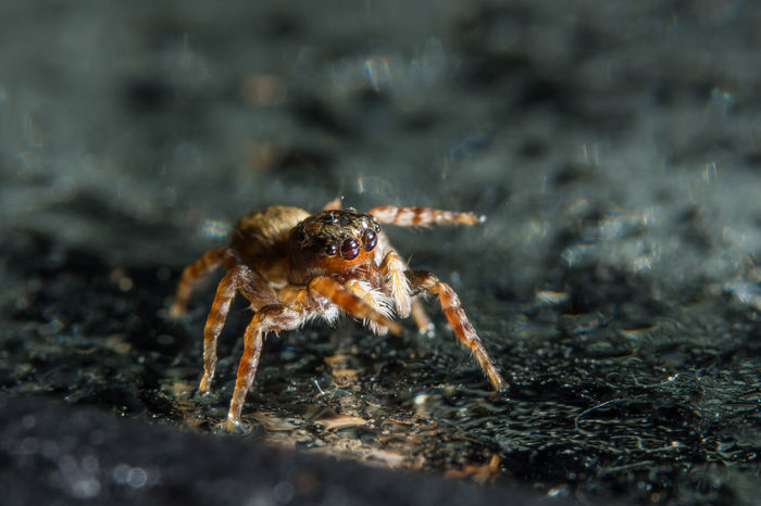 Macro spider on glass Animal Themes Animal Wildlife Animals In The Wild Close-up Day Jumping Spider Nature No People One Animal Outdoors Spider