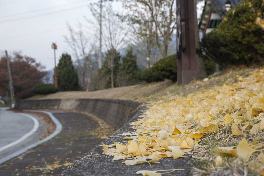 Nongae Birth Place, Jangsugun, Jeonlabukdo, South Korea Autumn Autumn Colors Beauty In Nature Close-up Day Fall Fall Beauty Flower Flower Head Freshness Ginkgo Leaves Growth Nature No People Outdoors Pathway Road Roadside Tree