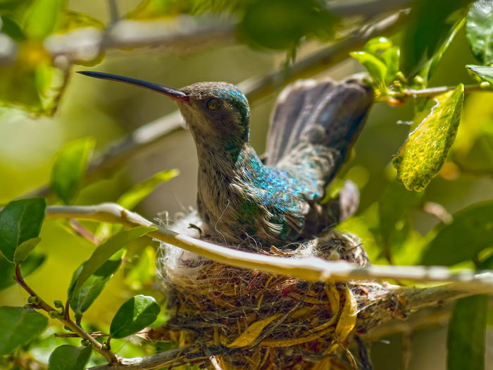 A female Broad-billed Hummingbird sitting on her nest somewhere in Arizona. Arizona Nesting Animal Themes Animal Wildlife Animals In The Wild Beak Beauty In Nature Bird Close-up Day Feather  Female Humming Bird Focus On Foreground Green Color Leaf Nature No People One Animal Outdoors