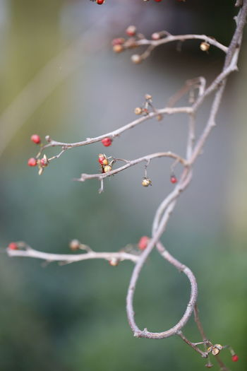 Changing mind Close-up Close Up Photography Tree Branches With No Leaves Tree Branches Pattern Tree Branch  Berries On A Branch Berries 3XPUnity Taking Photos Beautiful Nature Nature Flowers Of EyeEm Close-up Plant Branch