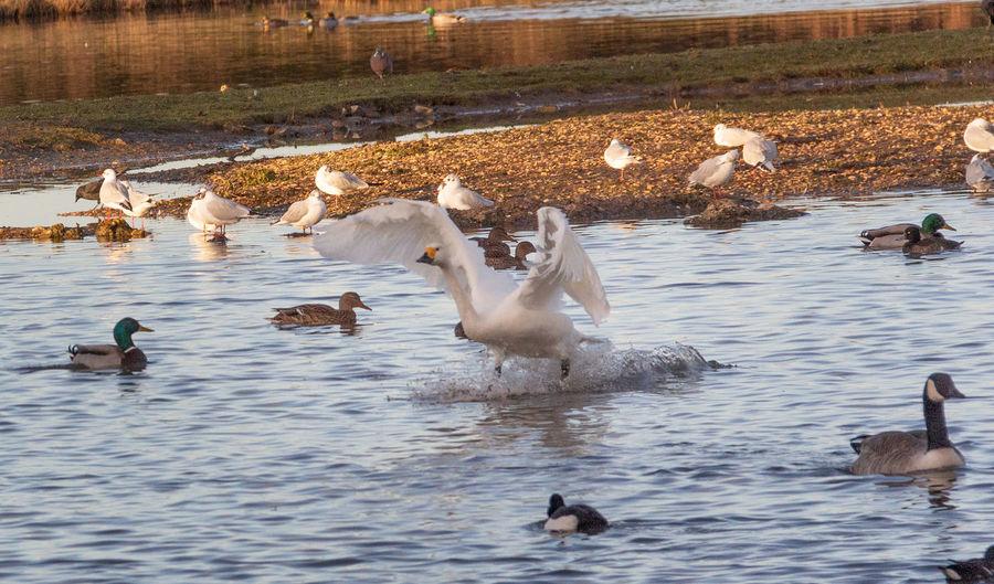 Bird Lake Swimming Water Swan Flock Of Birds No People Day Landing Group Of Animals Outdoors Duck Nature