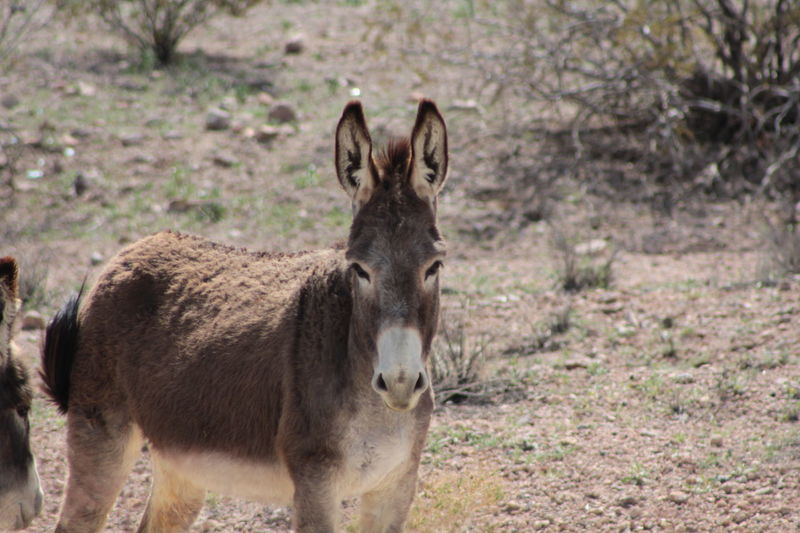 Animal Animal Head  Animal Themes Brown Close-up Day Donkey Field Focus On Foreground Grass Grassy Grazing Animals Horned Mammal Mean Looking Nature No People Outdoors Portrait Wild Animal Wild Donkey