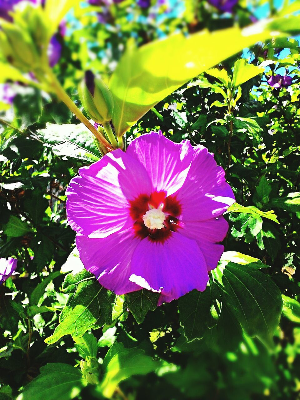 flower, petal, fragility, beauty in nature, nature, growth, freshness, flower head, plant, leaf, blooming, purple, day, green color, no people, outdoors, pink color, close-up, petunia