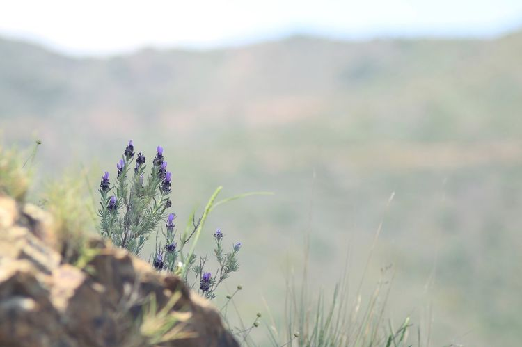 Wild lavender on rock :) Simple Quiet Love Tranquil Scene Wild Flowers Portbou Old Lens Lavender Plant Growth Nature Beauty In Nature No People Flower Day