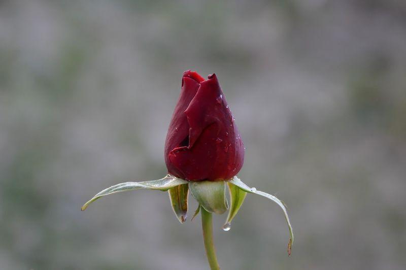 EyeEm Best Shots Rain Drops Beauty In Nature Beginnings Close-up Flower Flower Head Fragility Freshness Nature New Life Red Rosé Rose - Flower