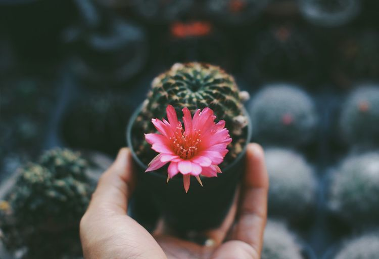 Cropped hand holding potted cactus plant