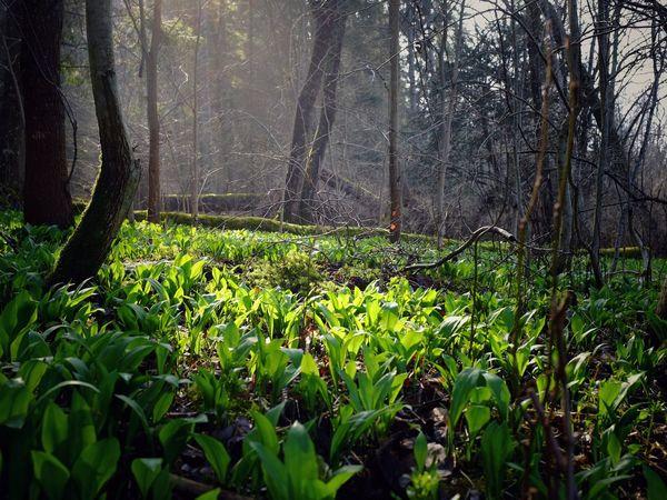 Wild Garlic Omberg Sweden WoodLand Forest Food And Drink Spring Foraging