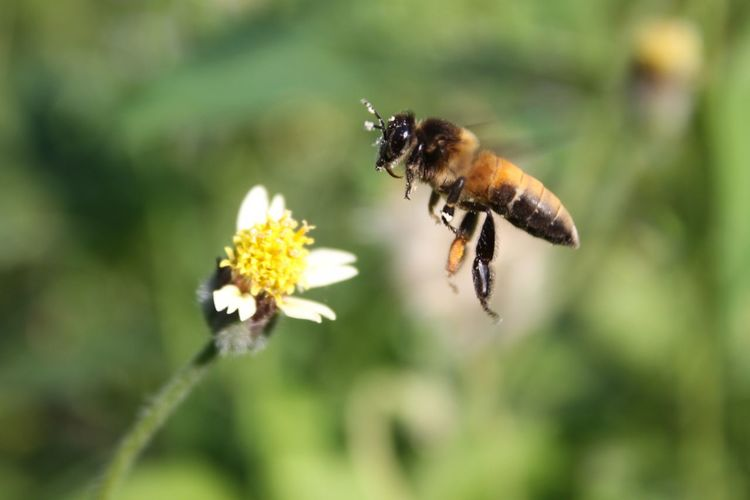 Flower Perching Full Length Bee Insect Pollination Butterfly - Insect Close-up Animal Themes Plant Buzzing Bumblebee Thistle Eastern Purple Coneflower Cosmos Flower Symbiotic Relationship Coneflower Wildflower Honey Bee Petal Flower Head Blooming Stamen Pollen In Bloom Spiky Zinnia