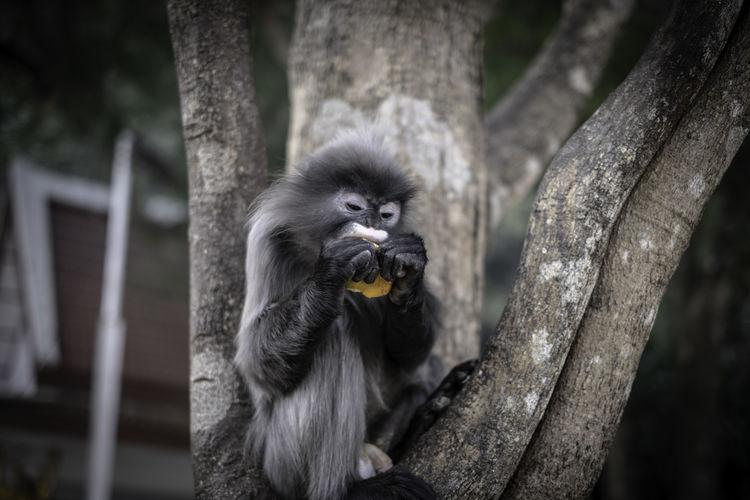 Colobinae also gray langur eating fruit long tailed monkey on the tree