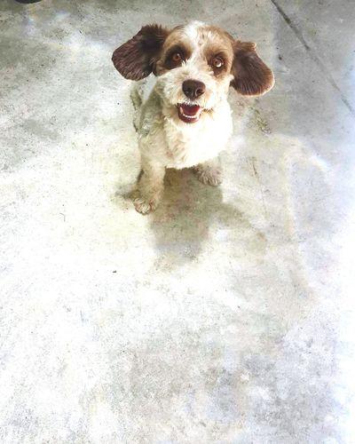 Si tu Perro o Perrito nunca te ha dado una Sonrisa es porque Algo malo estas haciendo. Bestfriend Manchis Frenchpoodle Guatemala City