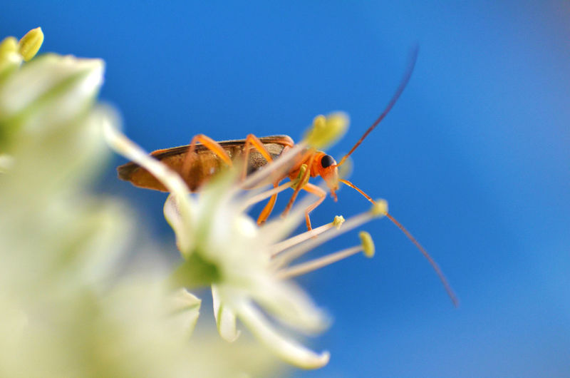 Low angle view of cockroach on white flower blooming against clear sky