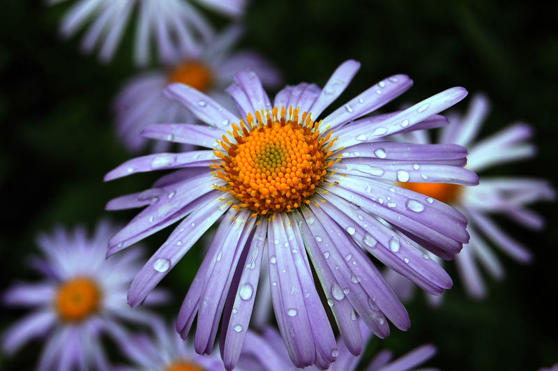 Close-up of wet purple flower