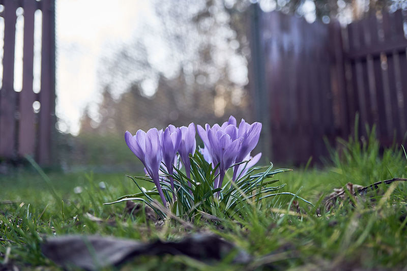 Plant Flower Flowering Plant Purple Freshness Nature Beauty In Nature Grass Selective Focus Growth Fragility Day Iris No People Vulnerability  Crocus Field Land Close-up Pink Color Outdoors Flower Head First Eyeem Photo EyeEm Best Shots Eyem Gallery EyEmNewHere My Best Photo