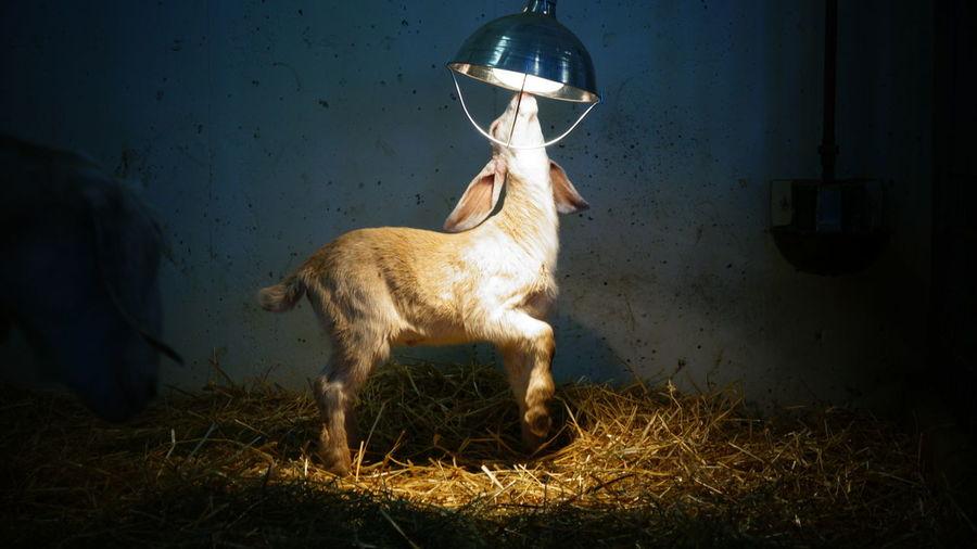 Kid goat reaching towards lamp