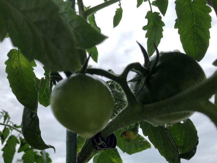 梅雨入り Rainy Day Japan Tomato Vegetable Green トマト 梅雨 Growth Plant Healthy Eating Green Color Leaf Plant Part Fruit