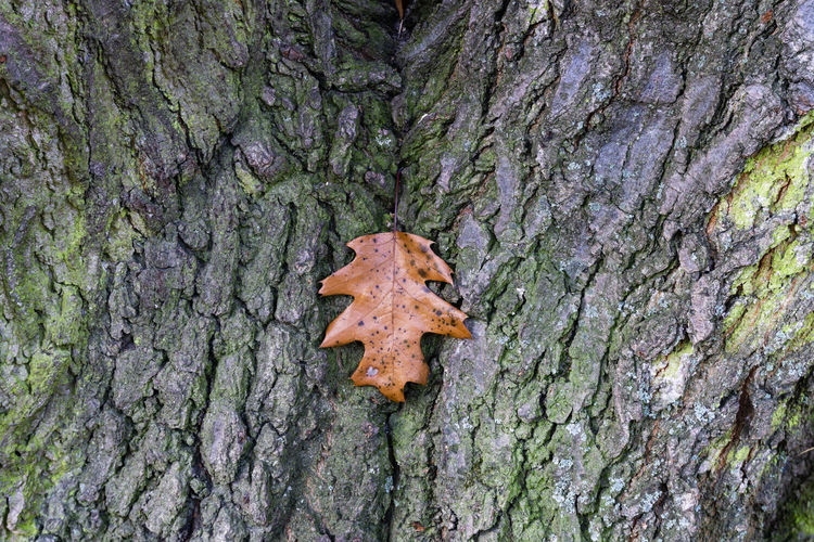 Close-Up of Fallen Oak Leaf on Bark of Tree Berlin Germany 🇩🇪 Deutschland Horizontal Outdoors No People Color Image Plant Plant Part Leaf Nature Day Autumn Forest Tree Trunk Trunk Tree Textured  Close-up Rough Focus On Foreground Bark Pattern Plant Bark Full Frame Oak